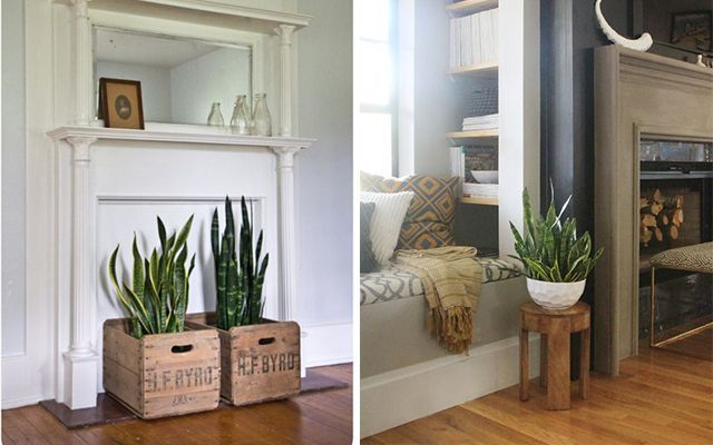 Decorar con plantas - La Sansevieria
