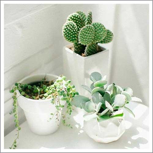 Guía de cactus y suculentas